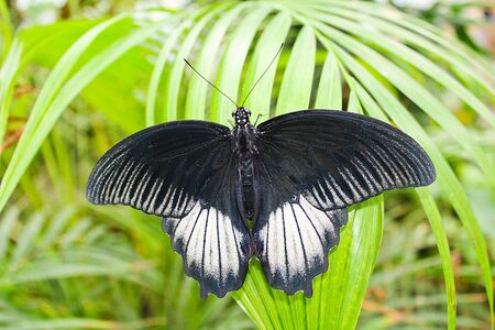 Big black and white butterfly on green leaf, photo to wings Stock Photo