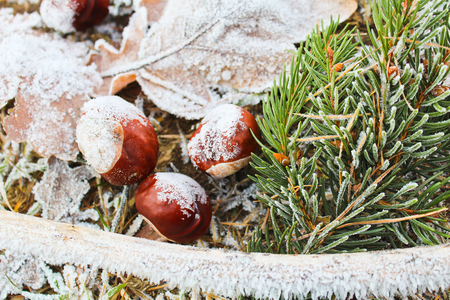 Frozen leaves, chestnut, trunk and coniferous branch