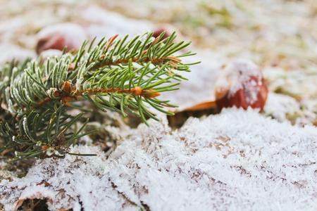 Frozen leaves, chestnut, coniferous branch, close up photo