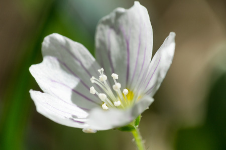 Macro photo of blossom wood sorrel,  Oxalis acetosella