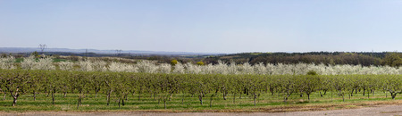 Panoramatic view to Cherry tree orchard, Czech landscape