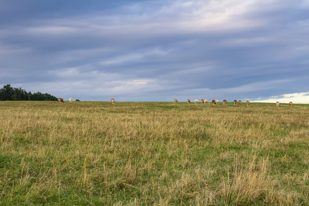 Herd of cow standing on grass and blue cloudy sky