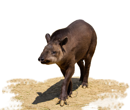 South American tapir isolated on white background