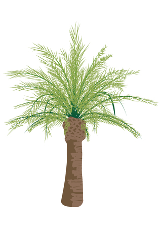 Palm tree isolated on white background, vector template Çizim
