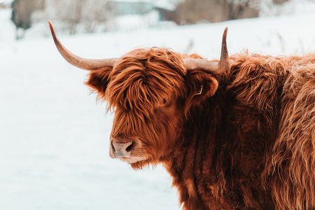 Portrait of highland cattle brown cow from front in winter landscape