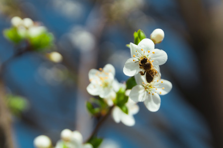 Bee sit on cherry blossom with blue sky, Czech republic Reklamní fotografie