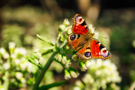 Peacock butterfly inachis io sit on white flower blossom with open wings Banco de Imagens