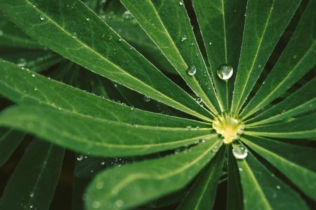 Ładna kropla wody na ciemnozielonych liściach, zdjęcie makro