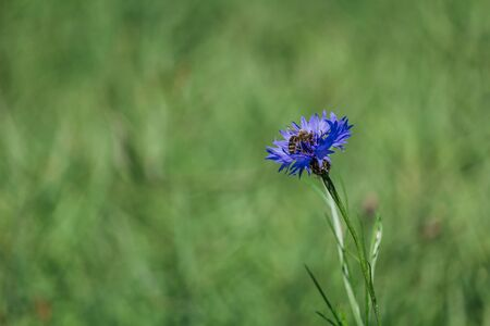 Bee sit on blue blossom cornflower with blured green background