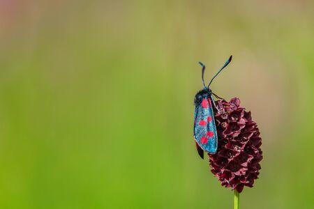 Zygaena filipendulae sit on flower blossom. Macro photo