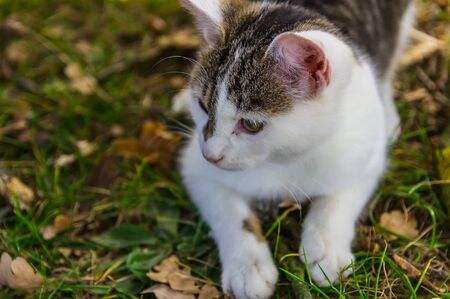 Nice small kitty cat lay in grass with autumn leaves from front Foto de archivo - 133516858