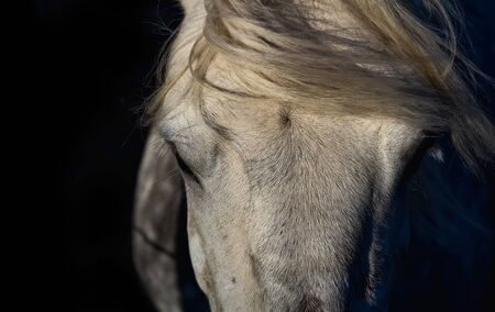Portrait of white horse head isolated on black background.