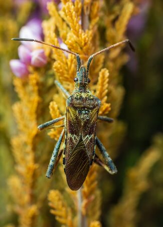 Western conifer seed bug sit on flower stem from up. Macro photo