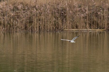 Adult summer plumage black headed gull Chroicocephalus ridibundus fly above pond from front