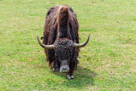Portrait of tibetan yak cow, Bos mutus f. grunniensis on grass Banco de Imagens