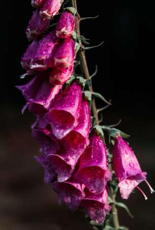 Violet digitalis flower with water droplet on dark background Standard-Bild