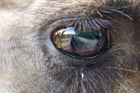 Macro photo of eye wild bactarian camel from side, Camelus ferus Stock Photo