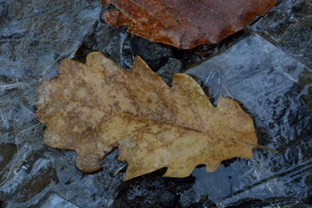 ice sheet: The dried up oak sheet among ice crystals