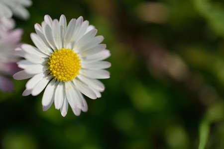 chamomiles: Chamomiles daisies macro