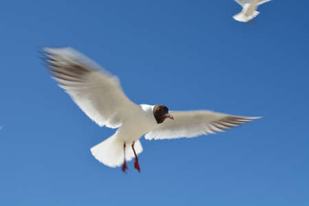 outstretch: seagull, Stock Photo