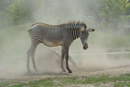 bowed head: zebra