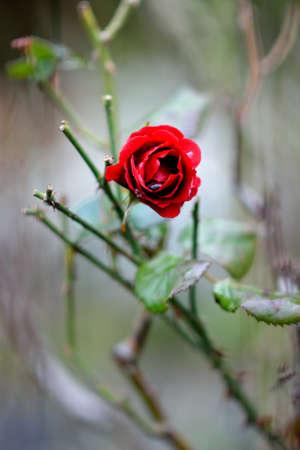 red rose Banco de Imagens