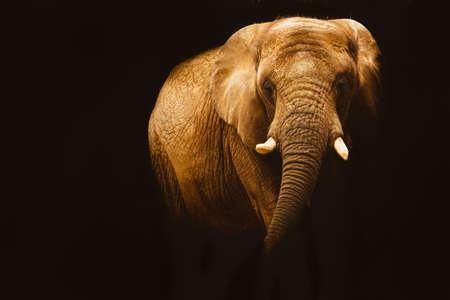 Elephant in black background