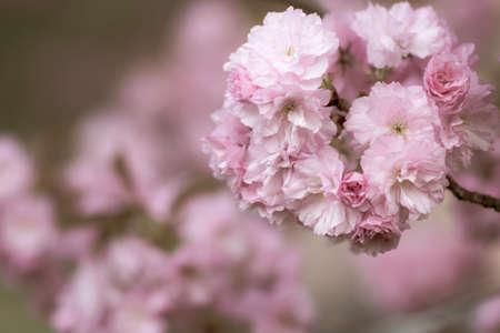 Apple blossoms tree