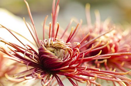 gules: chrysanthemum Stock Photo
