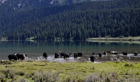 Plateau lakes and yak