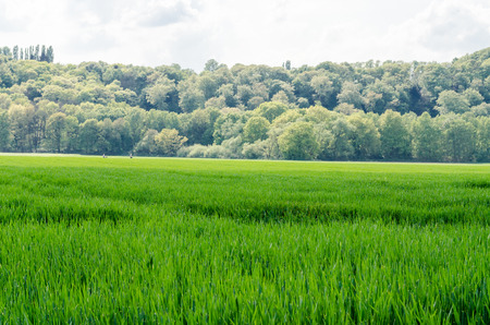 subsequent: Wide view of a corn field with subsequent forest land