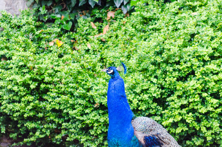 putz: Peacock in front of green hedge Stock Photo