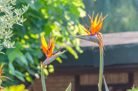 strelitzia: The flower belongs to the genus Strelitzia. It has resemblance to a bird of paradise.