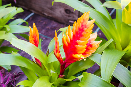 vriesea: The Vriesea belongs to the large genus of bromeliads. To this genus thus includes the pineapple. In colloquial language it is called flaming sword. Stock Photo