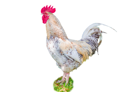 exempted: A white rooster exempted against white ground When posing. Stock Photo