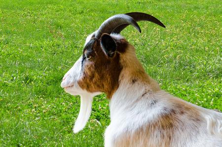 풀밭에 갈색 모피와 흰 염소의 측면보기.