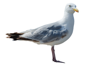 A large seagull exempted against white background. photo