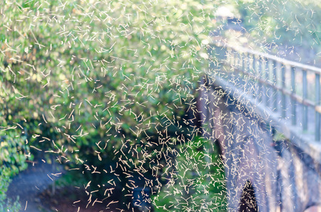 석양 Tanzede 모기