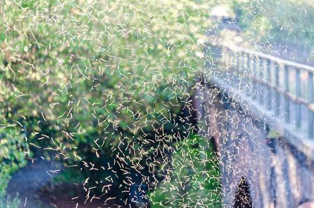 Tanzede muggen in de zonsondergang Stockfoto