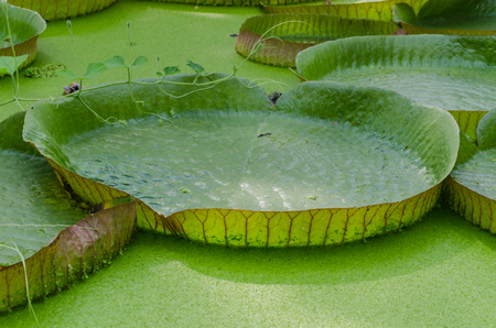 With the largest leaves in the world, the Victoria water lily or even the Amazon water lily called. photo