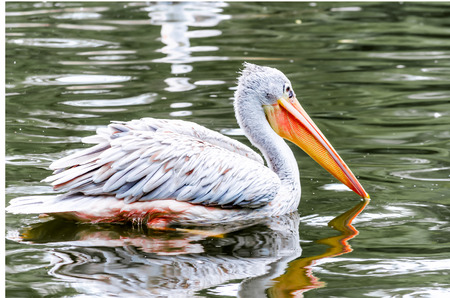 beak: Pelikan a large water bird with yellow-orange beak