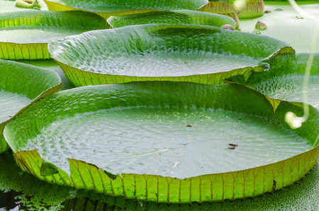 Large sheet of a water lily plant.