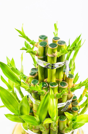 structured: Detail of small bamboo tree in front of white background.