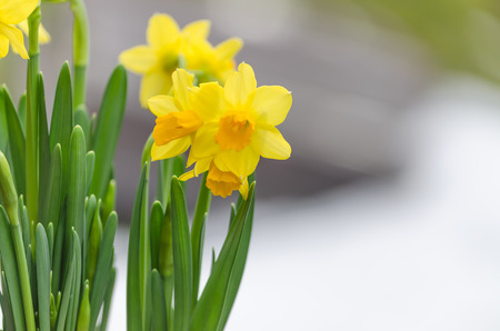 The Yellow daffodil Narcissus also known as the daffodil.