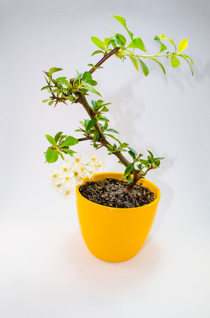 persuasiveness: A small bonsia tree in a yellow ceramic pot. Isolated on white background.