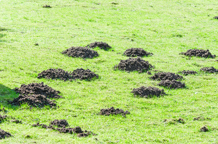 turf pile: Various molehill on a lawn in the garden.