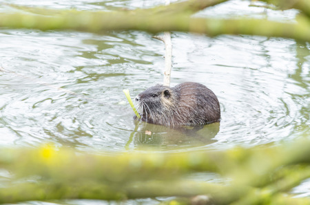 nutria: The Nutria (Myocastor coypus) also Coypu, water rat, coypu, nutria, beaver tail or tail of rat called.