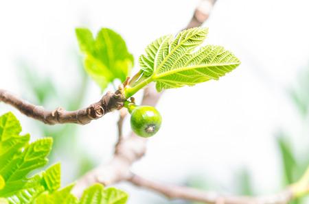 Close-up, des figues sur la branche d'un figuier.