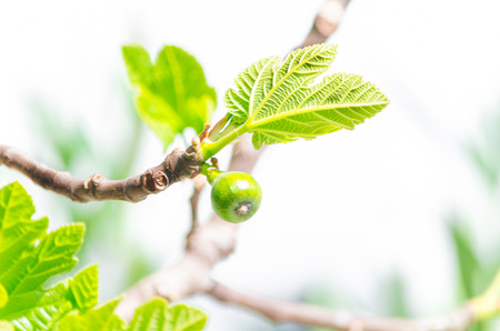fig tree: Close-up, figs on the branch of a fig tree. Stock Photo