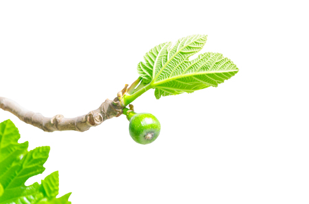 fig tree: Close-up, figs on the branch of a fig tree against white background. Stock Photo